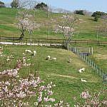 酪農のさとの桜