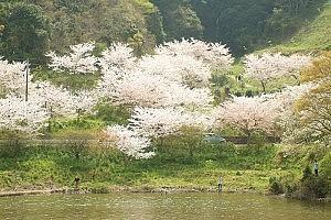 佐久間ダムと桜
